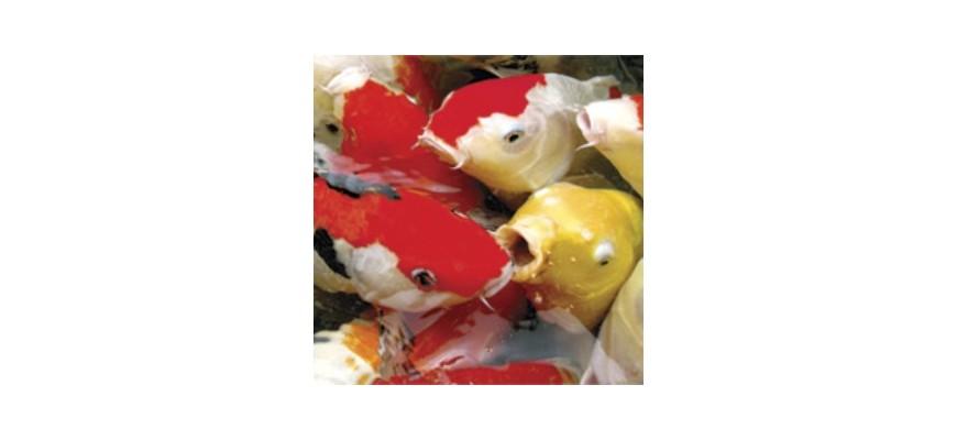 Nourriture carpe koî et poissons d'ornement